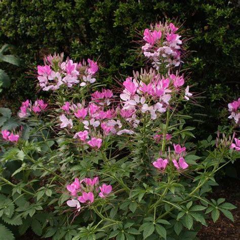 great border plants spider flower great border plants in my garden pinterest plants border plants and flower