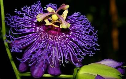 Exotic Flower Flowers Wallpapers Nature Passion Desktop