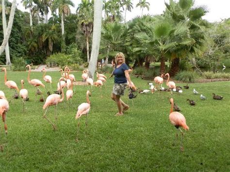 sarasota jungle gardens me with the flamingo s picture of sarasota jungle