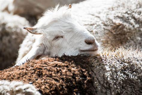 Welches Tier Liefert Die Hochwertige Kaschmirwolle by Welches Tier Liefert Kaschmirwolle Ostseesuche