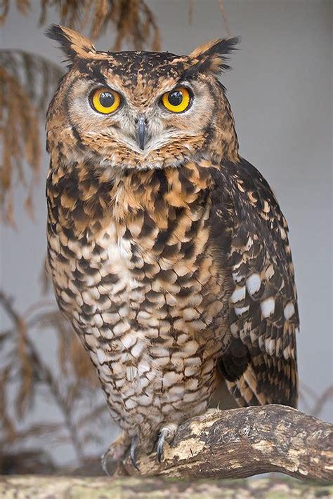 eagle owl face our birds turbary woods