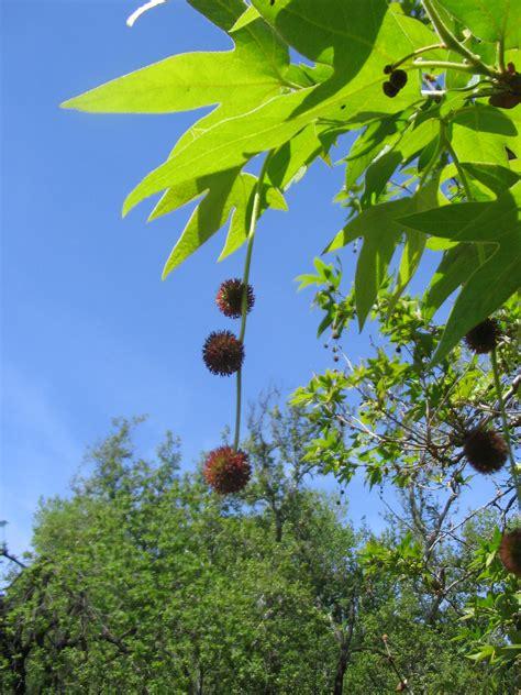 Platanus racemosa – The Watershed Nursery