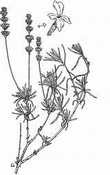 Lavender Coloring Oil Pages Drawing Flower Essential Rig Pure Lavandula Getdrawings Getcolorings Printable Colour sketch template