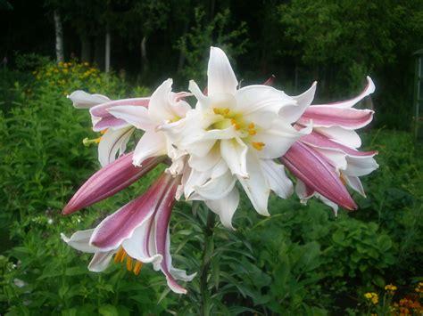 Kādas liliju šķirnes audzināt savos mazdārziņos?