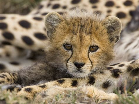 Animal Cubs Wallpapers - animal cubs images cheetah cub hd wallpaper and background