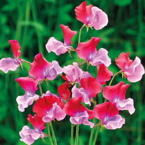 picture of sweet pea sweet pea emilia fox seeds from mr fothergill s seeds and plants