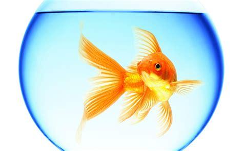 gold fish wallpaper  images