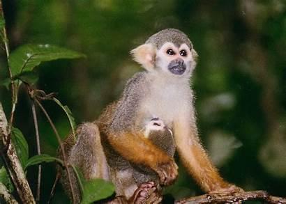 Monkey Squirrel Monkeys Pet Female Want Anita