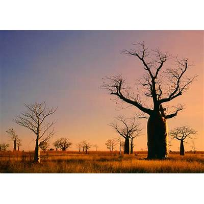 Boab Trees (adansonia Gregorii) Against A Sunset Sky At