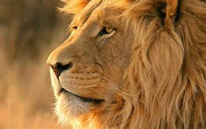 Geographic National Wallpapers Lion