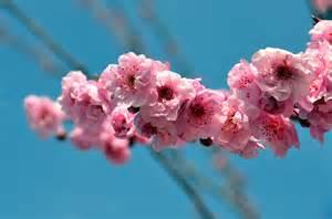 cherry blossom japan national flower desktop backgrounds