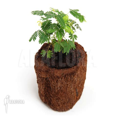 entretien mimosa pudica stunning set of different succulent plants cm pot im set with entretien