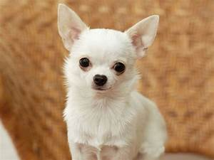 The dog in world: Chihuahua dogs