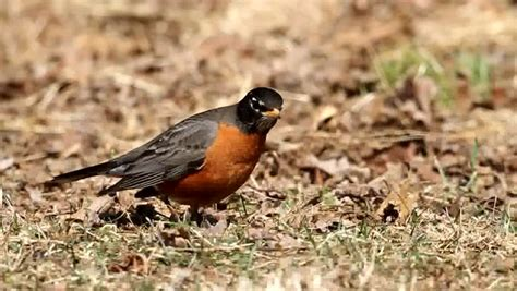 american robin turdus migratorius looking for worms on a