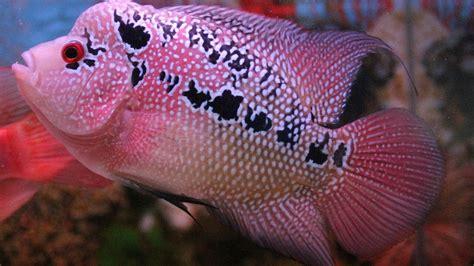 27 jenis ikan louhan unik dan mahal cara