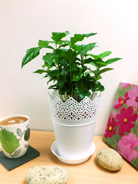 Also, make sure that both the soil and the pot your coffee plant is growing in has good drainage. 1 Arabica Coffee Plant Tree in Pot Indoor house Garden ...