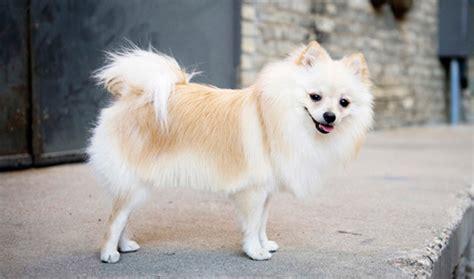 pomeranian breed information wwwthedogsvillacom