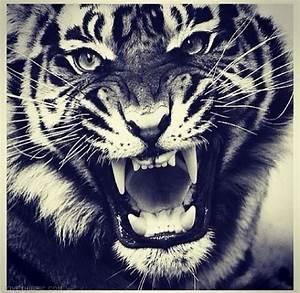 Tiger Quotes. QuotesGram