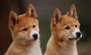 Dingo | Zoos Victoria