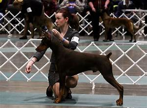 its a dog and pig world at seattle kennel club show With show me dog kennels