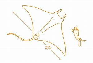 Manta Ray Dimensions  U0026 Drawings