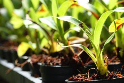 orchideen aus samen ziehen orchideen z 252 chten 187 so ziehen sie ihre eigene orchideen