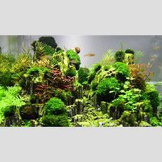 Aquascape Planted Aquarium With Glimmer Wood Rock (day 14