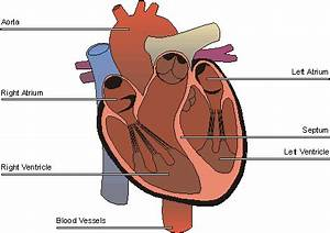 Heart Human Body Parts images