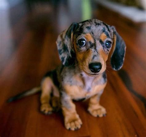 Images Of Wiener Dogs 1000 Ideas About Sausage Dogs On Dachshund