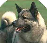 elkhound shedding elkhounds what s about em what s bad