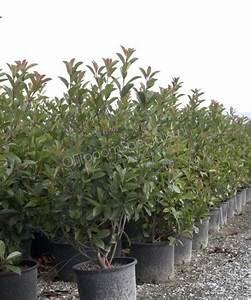Red Robin Baum : photinia fraseri red robin photinia produkt information photinia photinia spezialist ~ Frokenaadalensverden.com Haus und Dekorationen