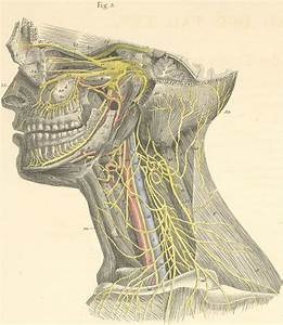 Deep Nerves Of The Head And Neck  Left Side