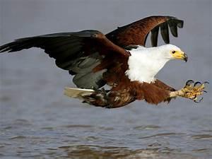 African Fish Eagle | Download Free Bird Images