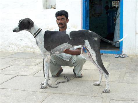 mudhol hound puppies  salesrinivas  dogs