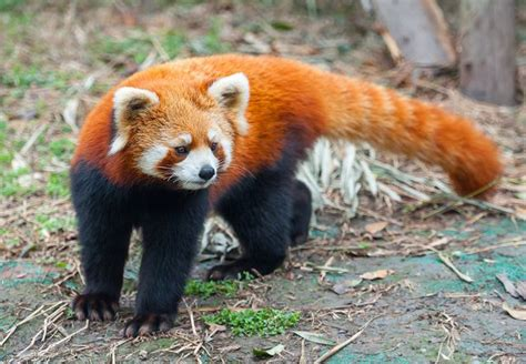 home design and remodeling panda 15 animals that are living fossils mnn
