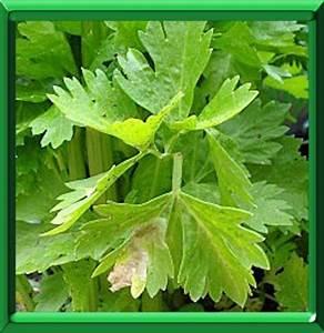 Culture Celeri Branche : c leri c tes ou apium graveolens fiche technique compl te ~ Melissatoandfro.com Idées de Décoration