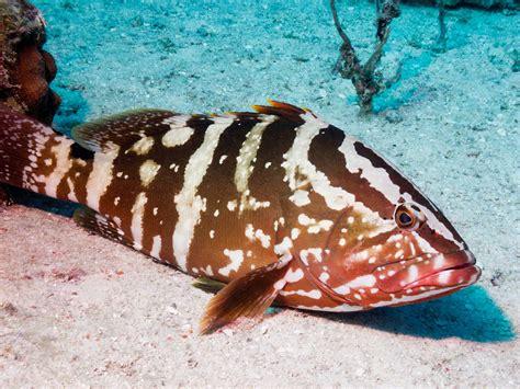 grouper nassau bahamas types fishing florida epinephelus fish sandals habitat caribbean pic shutterstock bottom