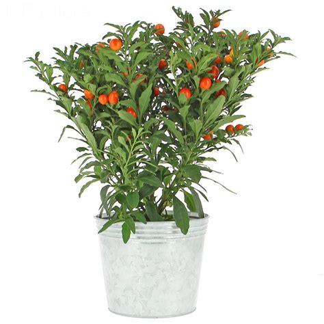 pommier d amour exterieur livraison pommier d amour plante fleurie foliflora