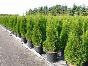 Lebensbaum Wird Braun : lebensbaum 39 smaragd 39 thuja occidentalis 39 smaragd ~ Lizthompson.info Haus und Dekorationen