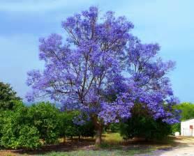 panoramio photo of the blue tree flowery jacaranda among orange trees alhaur 237 n de la torre