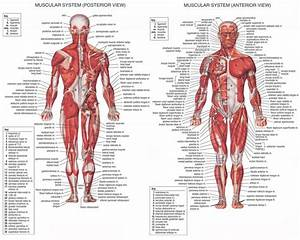 All Muscles In The Stomach Muscle Anatomy - Anatomy Human