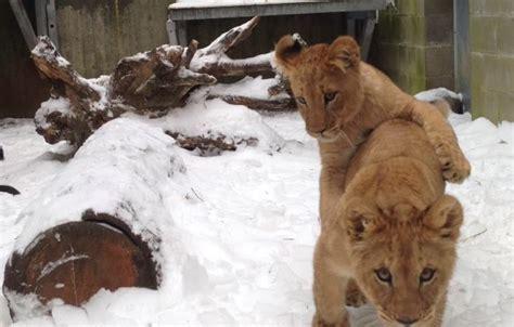 Oregon Zoo Baby Lion Cub