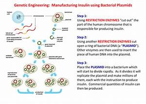 B1 Genetic Engineering  Manufacturing Insulin Summary By