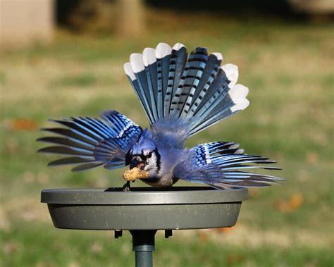 blue jay at feeder birds pinterest