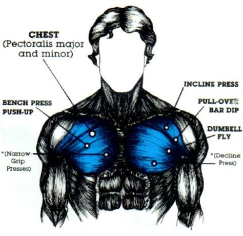 Muscles of the torso, as well as muscles in the arms or legs, can give the impression of a thin or athletic person. Chest Muscles, Chest Muscle Diagram - Muscleblitz.com