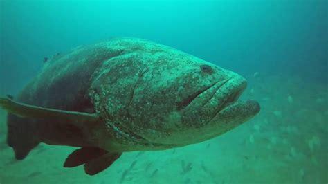 wreck grouper jupiter florida bonaire goliath dive