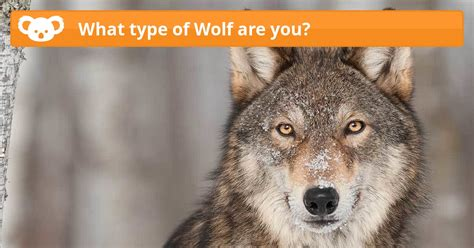 What Type Of Wolf Are You?  Koala Quiz