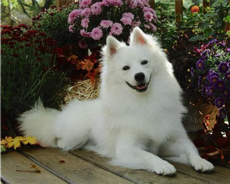 american eskimo spitz shedding american eskimo breed information puppies pictures
