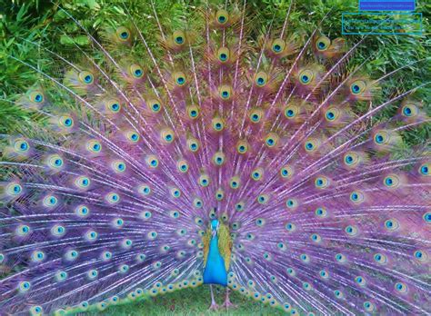 peacock colors hundreds of peacocks color explosion beautiful