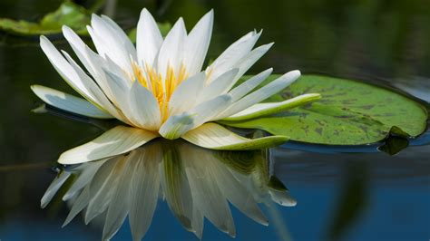wallpaper lotus   wallpaper flowers lake river
